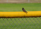 Phoebe on Yellow Fence