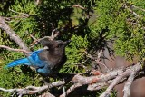 Steller Jay with an Ant