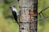 Chattering Female Woodpecker