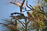 Another Black-headed Grosbeak