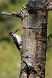 Male Hairy Woodpecker Bringing Food