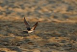 Flying Cliff Swallow