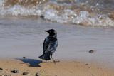 Brewer's Blackbird  Beach Stroll
