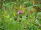 Purple Thistle Amidst Greens