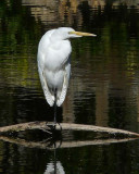 Great Egret on Curved Branch