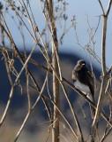 Black Phoebe in the Bush