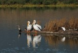 Two Pelis and a Cormorant