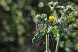 Dandelion Webs