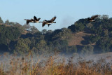 Geese Fly Over Hills