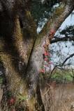 Poison Oak on Oak