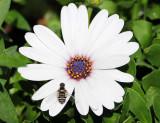 Progressive Bee Fly on White
