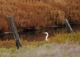 Great Egret at Creek