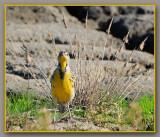 Meadowlark With Attitude