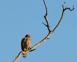 Closer View of Hawk