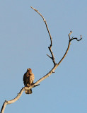 Red-shouldered Hawk Calling Out