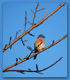 Solitary Bluebird