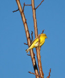 All Yellow - Maybe Yellow Warbler