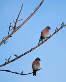 11/30/11: Two Western Bluebirds