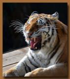 Big Tiger Yawn