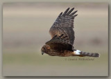Northern Harrier Fly-By