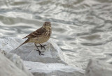 American Pipit - On the Rocks