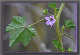 Purple Geranium-type Wildflower