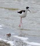 Black-necked Stilt and Sandpiper