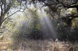 Forest and Light Rays