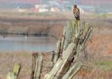 Hawk on Fence 2