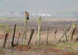 Red-shouldered Hawk on Fence
