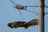 Hawk Drops Down