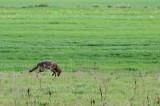 Coyote Pounce!