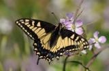 Swallowtail on Wild Radish