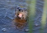 River Otter Pops Up