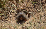 Fast Gopher