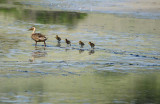 Four Ducklings with Mom
