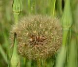 Salsify Seed Head