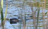 5/30/12: River Otter Swim