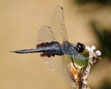 Black Saddleback Dragonfly