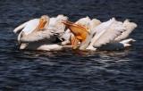 Pelican Flock Feeding