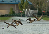 Canadian Geese Take Off