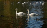 Two  Swans A'Swimming
