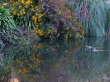 Mallards Swim in Reflections