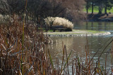 Pampas at the Pond