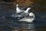 Gulls Bathing