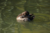 Snoozing Duck