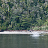 Hector Dolphins in Doubtful Sound