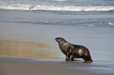 Giant Sea Lion at Otago Peninsula, NZ