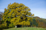 Lime Tree in Fall Colours