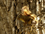 RED SQUIRREL-BACKLIT TAIL .JPG